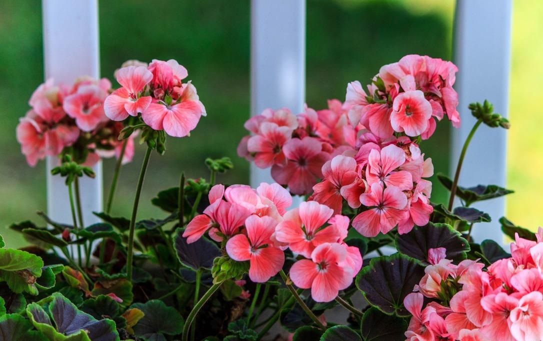 pink-geranium-2729139_1920.jpg