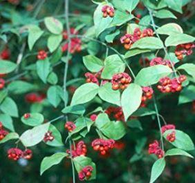 euonymous americanus