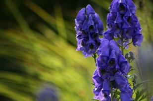 monkshood-3800681_640
